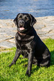 Labrador Dog Sitting on Grass with River Behind Stock Photo
