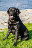 Labrador Dog Sitting on Grass with River Behind Royalty Free Stock Image