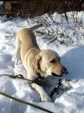 Labrador dog in snow Royalty Free Stock Images