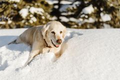 Labrador dog in the snow royalty free stock photos