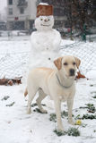 Labrador dog standing in front of a funny snowman in the park Stock Photos
