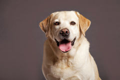 Labrador Dog Studio Portrsit Royalty Free Stock Photography