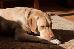 Labrador dog in sunlight. A nearly sleeping labrador retriever at rests on living room rug. bright sunlight is cast on the dog creating a high constrast image stock photography
