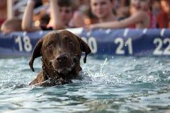 Labrador Dog Swimming. Retrieving Labrador dog at a dock dog competition Stock Photos