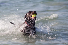 Labrador dog swims in the sea Royalty Free Stock Images
