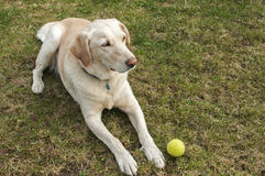 Labrador dog with tennis ball. Adorable female Labrador Retriever dog lying on grass garden meadow with tennis ball toy royalty free stock photography
