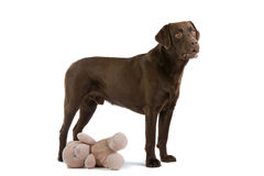 Labrador dog and toy Stock Photo