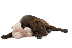 Labrador dog with toy Royalty Free Stock Photos