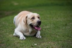 Labrador dog traning to sit down. Portrait of Smile Labrador Retriever sit down or crouch in green grass to get snack award from his owner. Dog training in park Stock Image