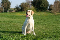 Labrador dog waiting Royalty Free Stock Image