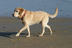 Labrador dog walking on Beach Royalty Free Stock Image