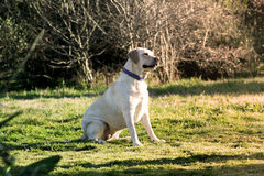 Labrador dog watching. A beautiful labrador dog is sitting on a green meadow watching / Ambience warm e friendly Stock Photo
