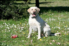 Labrador dog watching Stock Images