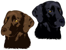 Labrador Dogs Royalty Free Stock Photography