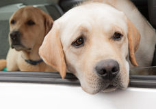 Labrador dogs in car. Two Labrador Retriever dogs in a car with one dog with his head looking out the window Stock Images