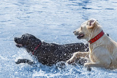 Labrador dogs enjoying water Stock Photography
