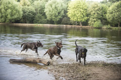 Labrador dogs at the lake Royalty Free Stock Photography