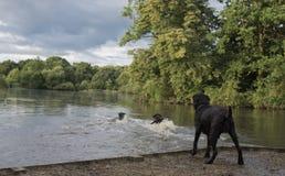 Labrador dogs at the lake Stock Photos