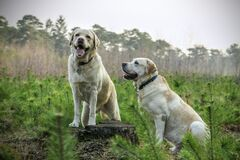 Labrador dogs outdoors Stock Photos