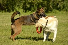 Dogs play with each other. Labrador. Merry fuss puppies. Aggressive dog. Training of dogs. Puppies education, cynology, intensive