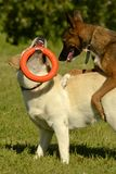 Dogs play with each other. Labrador. Merry fuss puppies. Aggressive dog. Training of dogs. Puppies education, cynology, intensive. Labrador. Dogs play with each royalty free stock image