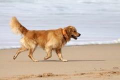 Labrador dorato. Immagine Stock