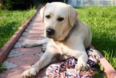 Labrador dorato immagine stock