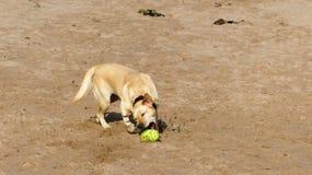 Labrador dorato Immagine Stock Libera da Diritti
