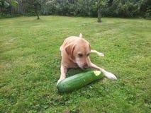 Labrador dorato che mangia midollo Fotografie Stock