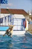 Labrador dorato che salta in un raggruppamento di acqua fotografie stock libere da diritti