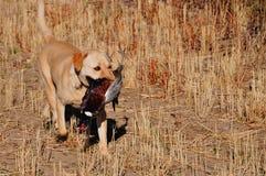 Labrador dorato con il fagiano Fotografie Stock