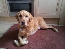 Labrador dorato con le zampe piegate Immagine Stock