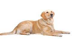 Labrador dorato Retreiver Fotografie Stock