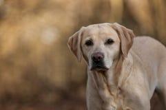 Labrador Royalty Free Stock Photo