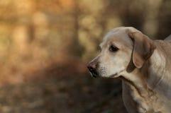 Labrador Stock Image