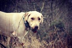 Labrador dourado Fotos de Stock