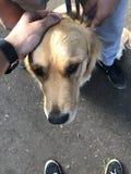 Labrador dourado Fotografia de Stock