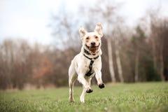 Labrador dourado fotografia de stock royalty free