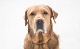 Labrador dourado bonito na neve Imagem de Stock Royalty Free