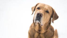 Labrador dourado bonito na neve Imagens de Stock Royalty Free