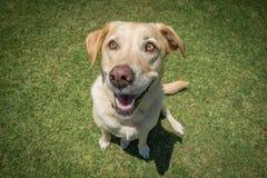Labrador dourado que senta-se no parque Imagem de Stock