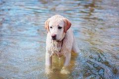 Labrador drôle se baigne d'abord en rivière Photographie stock