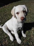 Labrador-dudley Welpe Stockfotografie