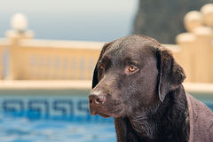 Labrador durch Swimmingpool Stockfotos