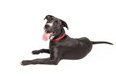 Labrador e beira amigáveis Collie Cross Laying imagem de stock