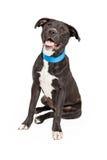 Labrador e beira felizes Collie Mix imagem de stock royalty free