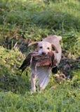 Labrador e fagiano Immagine Stock Libera da Diritti