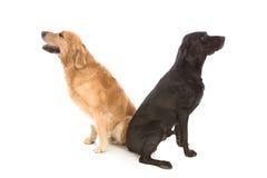 Labrador e gemelli dorati Immagine Stock Libera da Diritti