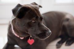 Labrador e Pit Bull Mixed-Breed Dog Fotografia Stock Libera da Diritti