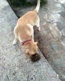 Labrador e tartaruga Immagine Stock Libera da Diritti